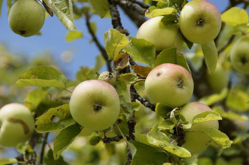 Воронежцы решили пожаловаться Путину на застройку яблоневых садов